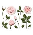 set of pink rose flower parts vector image