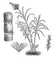 Sugar Cane vintage engraving vector image vector image