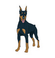 doberman pinscher standing isolated on white vector image