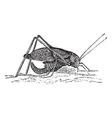 Winged katydid Sketch vector image vector image
