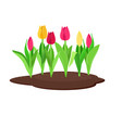 tulips growing in flowerbed vector image