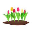 tulips growing in flowerbed vector image vector image