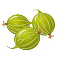 fresh gooseberry vector image vector image