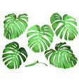 leaves of monstera vector image vector image