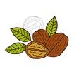 hand drawn walnuts vector image