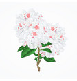twig white flower rhododendron mountain shrub vector image vector image
