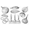 onion hand drawn sketch isolated set on white vector image