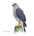 gray hawk vector image vector image