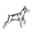 pinscher dog animal engraving vector image
