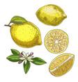 lemon with leaf half of the fruit flower vector image