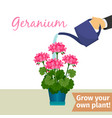 hand watering geranuim plant vector image vector image