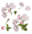set sakura flowers elements vector image