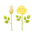gentle rose flowers open and closed bud in blossom vector image vector image