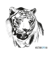 Tiger head hand drawn vector image vector image