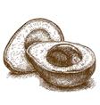 engraving avocado vector image vector image