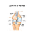 ligaments of the knee vector image vector image
