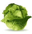 cabbage vector image vector image
