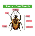 Diagram showing different parts of beetle vector image vector image