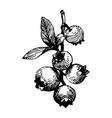 berries black ink drawing vector image vector image