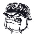 bulldog biker with helmet vector image
