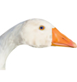 goose head vector image