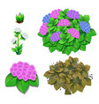 life stages flowers isolated on white vector image