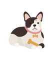adorable french bulldog with bone lying cute vector image