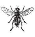 meat fly vintage vector image