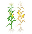 ripe maize plants isolated on white background vector image vector image