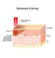 mechanism of tanning skin pigmentation vector image vector image