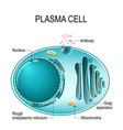 anatomy of a plasma cell or b cell or plasmocyte vector image vector image