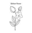 balloon flower platycodon grandifloru or chinese vector image vector image