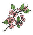 cherry blossom sketch engraving vector image