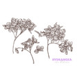 sketch hand drawn hydrangea set vector image