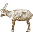 engraving drawing bongo antelope vector image