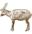 engraving drawing of bongo antelope vector image vector image