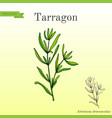 tarragon aromatic kitchen herb vector image vector image