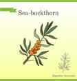 sea buckthorn branch with berries vector image