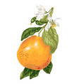 grapefruit with blooming flowers on the branch of vector image vector image