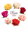 realistic color roses vector image