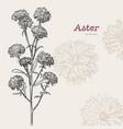 aster flower sketch vector image