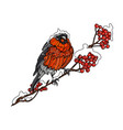 bullfinch on the branch of mountain ash vector image vector image