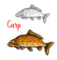 carp sketch of freshwater fish for fishing design vector image
