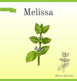 melissa known as lemon balm aromatic kitchen and vector image vector image