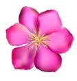 Pink Clematis vector image