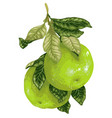 pomelo fruit on the branch of citrus tree in vector image vector image