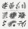 evergreen and conifers plants collection vintage vector image vector image