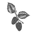 mulberry hand drawn sketch fruit vector image