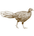 engraving of female silver pheasant vector image vector image