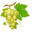 white grape vector image vector image